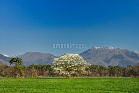 一本のコブシと草原の写真素材 [FYI01720147]