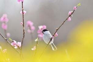 コガラと桃の花と菜の花の写真素材 [FYI01720165]