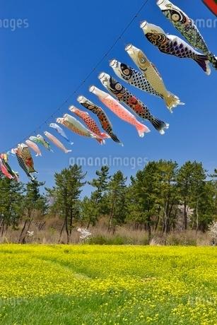 菜の花畑とコイノボリの写真素材 [FYI01720211]