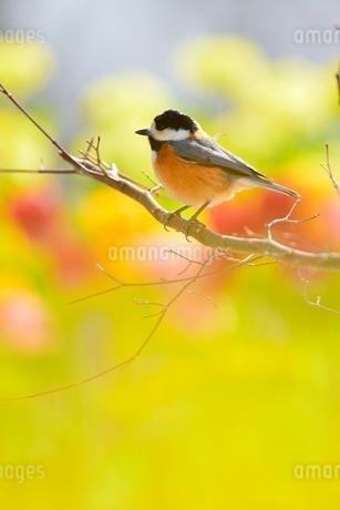 ヤマガラと菜の花畑とチューリップの写真素材 [FYI01720215]