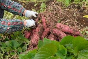 畑仕事サツマイモの収穫の写真素材 [FYI01720234]