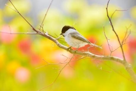 コガラと菜の花畑とチューリップの写真素材 [FYI01720325]
