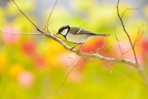 シジュウカラと菜の花畑とチューリップの写真素材 [FYI01720416]
