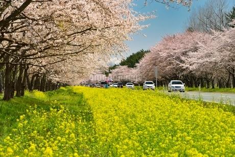 菜の花ロードと桜並木の写真素材 [FYI01720501]
