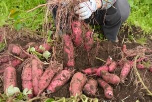 畑仕事サツマイモの収穫の写真素材 [FYI01720511]