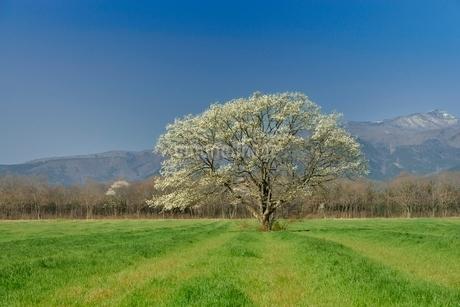 一本のコブシと草原の写真素材 [FYI01720530]