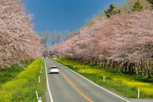 菜の花ロードと桜並木の写真素材 [FYI01720537]