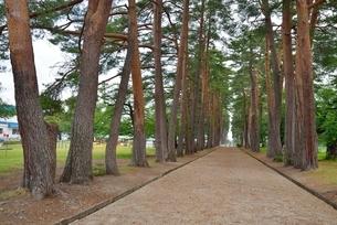 松、杉並木(松)の写真素材 [FYI01720557]