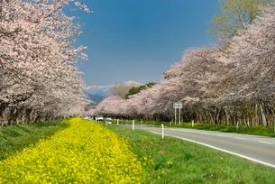 菜の花ロードと桜並木の写真素材 [FYI01720566]