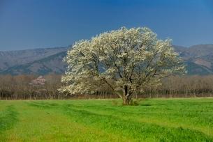 一本のコブシと草原の写真素材 [FYI01720568]