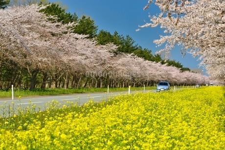 菜の花ロードと桜並木の写真素材 [FYI01720569]
