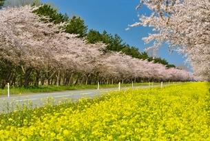 菜の花ロードと桜並木の写真素材 [FYI01720579]