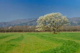 一本のコブシと草原の写真素材 [FYI01720585]