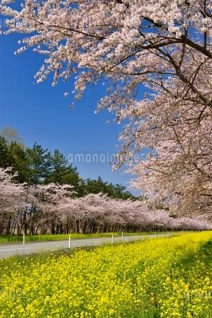 菜の花ロードと桜並木の写真素材 [FYI01720587]