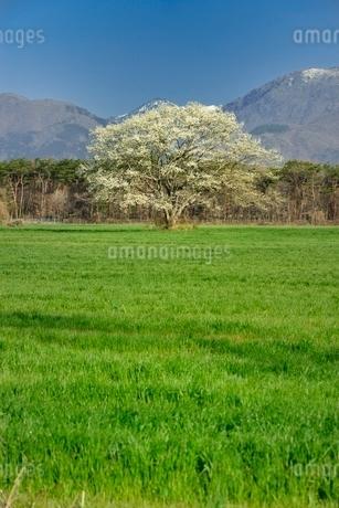 一本のコブシと草原の写真素材 [FYI01720604]