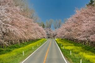 菜の花ロードと桜並木の写真素材 [FYI01720606]
