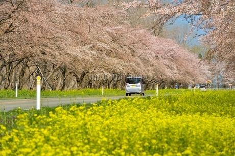 菜の花ロードと桜並木の写真素材 [FYI01720708]