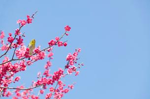 梅の花(紅梅)とメジロの写真素材 [FYI01720763]