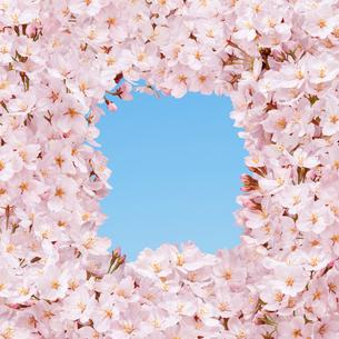 桜の花の枠の写真素材 [FYI01720802]