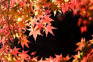 モミジの葉の写真素材 [FYI01721123]