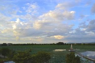 水原のオニバス群生地の写真素材 [FYI01722283]