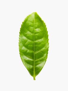 やぶきた茶の茶葉 新茶の写真素材 [FYI01723167]