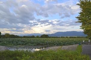 水原のオニバス群生地の写真素材 [FYI01723859]