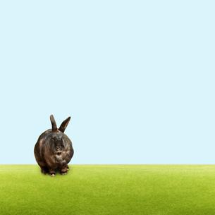 黒いウサギの写真素材 [FYI01724346]