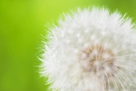 タンポポの綿毛の写真素材 [FYI01724440]