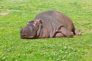 野原で昼寝するカバ イメージの写真素材 [FYI01724674]