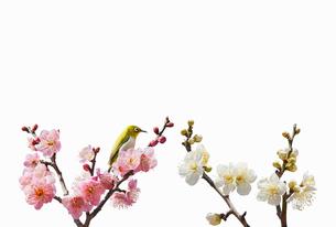 メジロと紅梅と白梅の写真素材 [FYI01724803]
