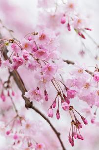 しだれ桜(ヤエベニシダレ)の写真素材 [FYI01724820]