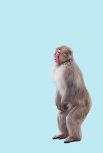 二本足で直立するニホンザルの写真素材 [FYI01724828]