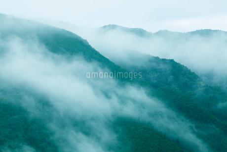 朝霧のたちこめる飛騨杉の樹林の写真素材 [FYI01724831]