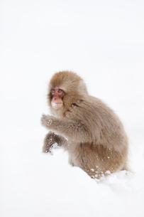 雪をほおばるサルの写真素材 [FYI01724921]