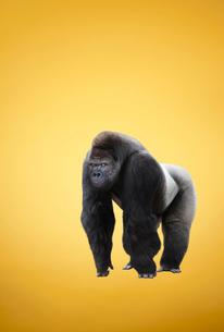 ナックルウォーキングのポーズのゴリラの写真素材 [FYI01724995]