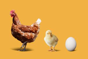 ニワトリとヒヨコと卵の写真素材 [FYI01724998]