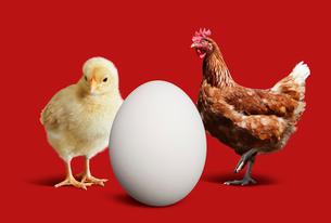 ニワトリとヒヨコと卵の写真素材 [FYI01725013]