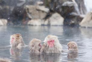 地獄谷の温泉につかるサルの写真素材 [FYI01725089]