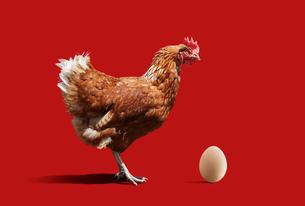 ニワトリと卵の写真素材 [FYI01725133]