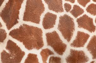 キリンの模様の写真素材 [FYI01725134]