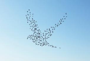 空に鳥のシルエットを描くハトの群れの写真素材 [FYI01725357]