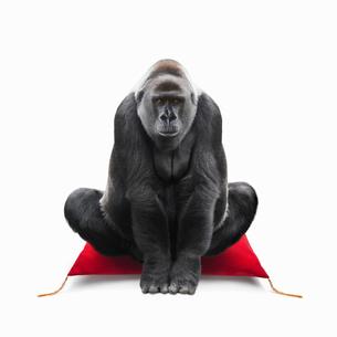 座布団に座って挨拶するゴリラの写真素材 [FYI01725418]
