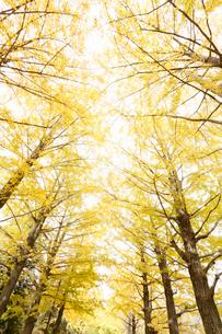 下から見上げたイチョウ並木の写真素材 [FYI01725456]
