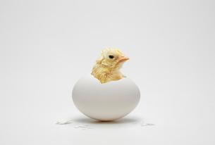 卵から顔をだすヒヨコの写真素材 [FYI01725506]