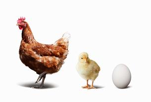 ニワトリとヒヨコと卵の写真素材 [FYI01725517]