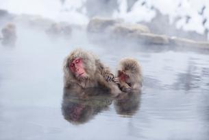 地獄谷の温泉につかるサルの写真素材 [FYI01725554]