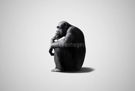 考えるチンパンジーの写真素材 [FYI01725564]