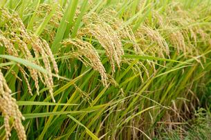 収穫時期の稲穂の写真素材 [FYI01725585]
