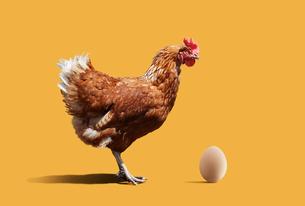 ニワトリと卵の写真素材 [FYI01725594]